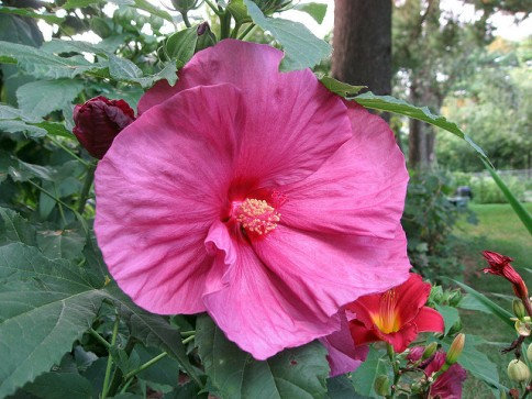 hibiscus-moscheutos-new2