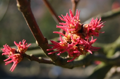 acer-saccharinum-flowers