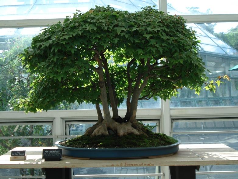 acer_buergerianum_bonsai_2