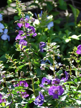 angelonia-2-new