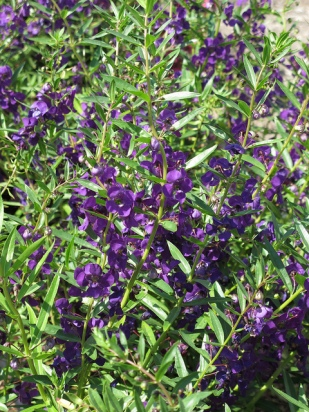 angelonia-3-new