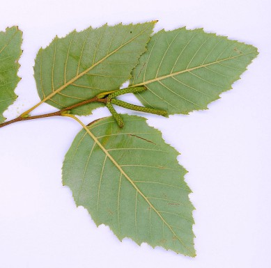 betula-nigra-2