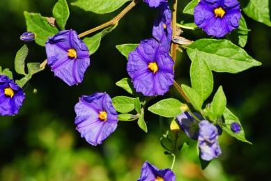 blue-potato-bush