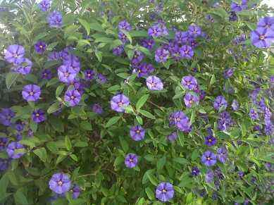 blue-potatoe-3