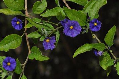blue-potatoe-bush-3