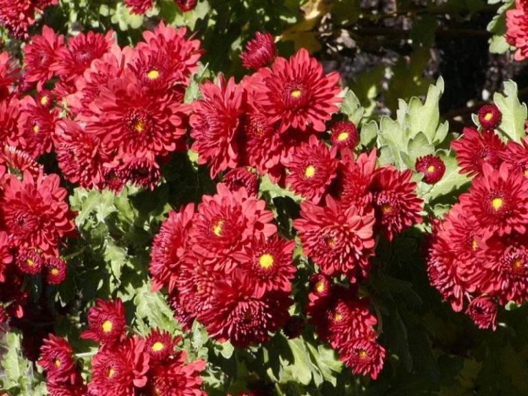 chrysanthemum-2