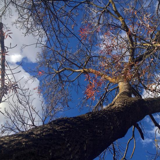 fraxinus-angustifolia-raywood2