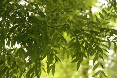 fraxinus_angustifolia_ssp-_oxycarpaimg_3375