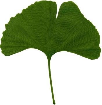 ginkgo_biloba_scanned_leaf