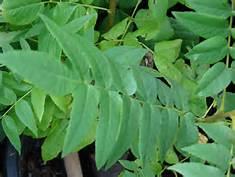 juglans-regia-leaf
