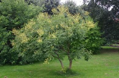 koelreuteria-paniculata-habit2