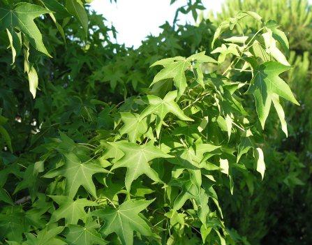liquidambar-styraciflua-foliage2