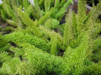 myers-asparagus-4