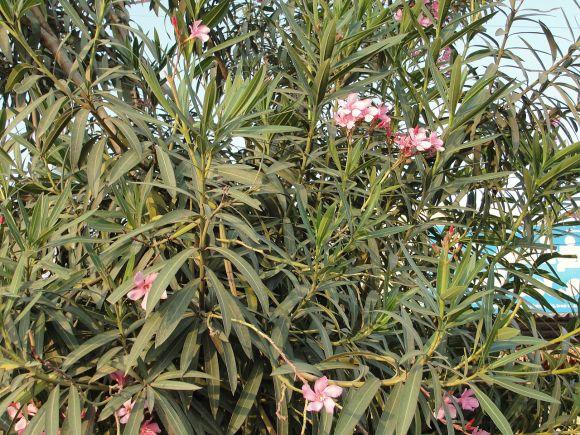 nerium_oleander_plant
