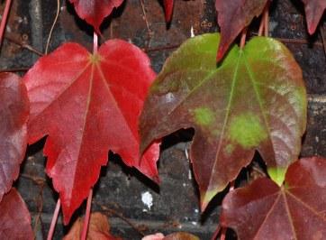 parthenocissus_tricuspidata_feuilles