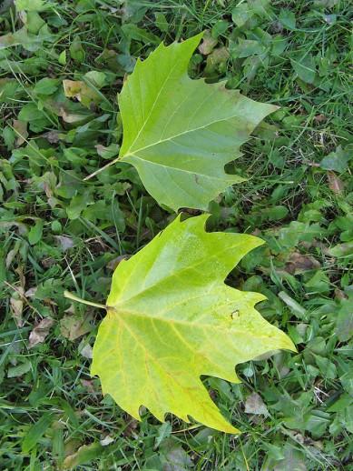 platanus-x-acerifolia