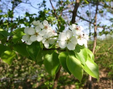 pyrus-communis-flower