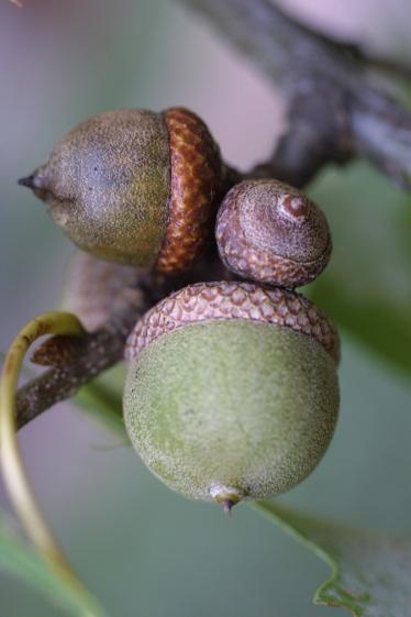 quercus_palustris_fruit