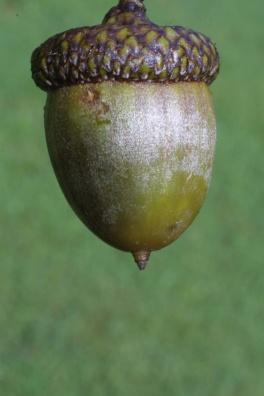 quercus_rubra_fruit