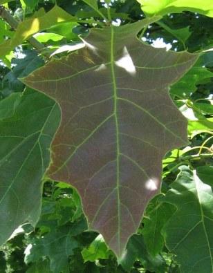 quercus_rubra_leaf_20060624