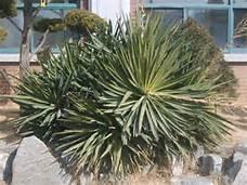 yucca-3