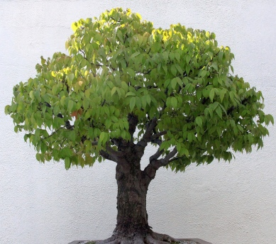 zelkova-bonsai