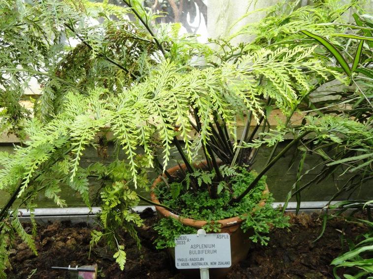 asplenium_bulbiferum_-_copenhagen_botanical_garden_-_dsc07997