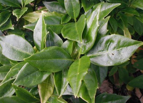 aucuba-japonica-leaves