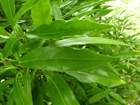 aucuba_japonica_salicifolia_aucubaceae_leaf