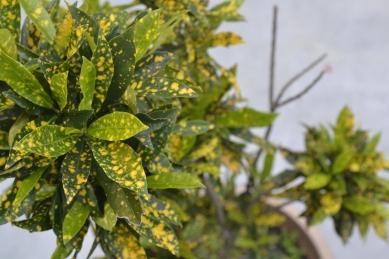 aucuba_japonica_variegata