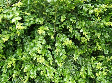 buxus_sempervirens_foliage_1