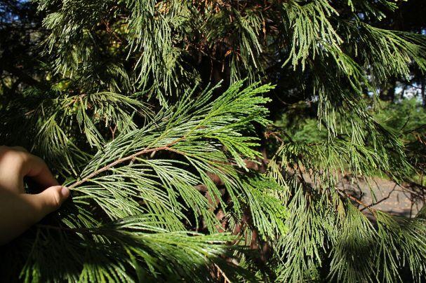 calocedrus_decurrens_foliage_pan