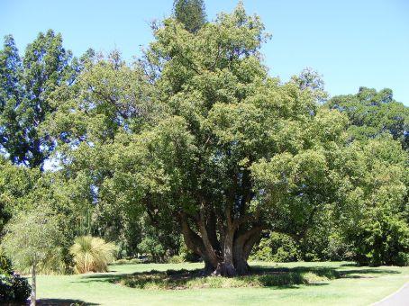 cinnamomum_camphora_-_botanic_gardens
