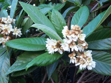 eriobotrya_japonica_flowers