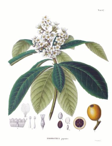eriobotrya_japonica_sz97