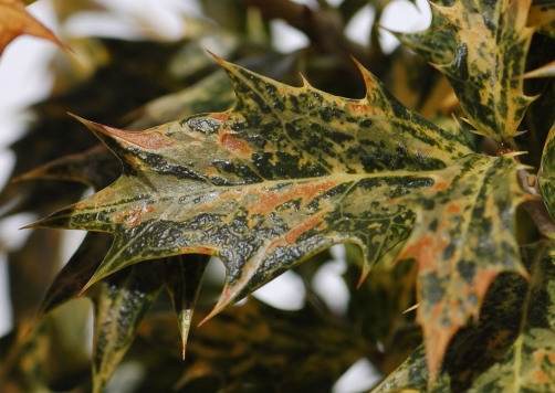 false_holly_osmanthus_heterophyllus_goshiki_leaf_1518px