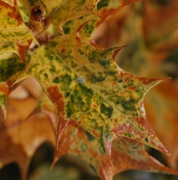 false_holly_osmanthus_heterophyllus_goshiki_leaf_closeup_1579px