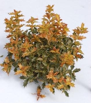 false_holly_osmanthus_heterophyllus_goshiki_plant_2000px