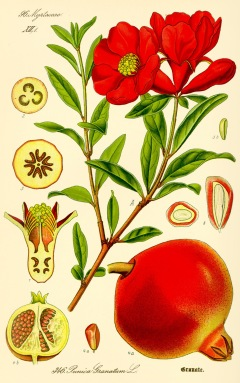 illustration_punica_granatum2