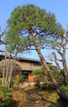 japanese_red_pine_japanese_garden