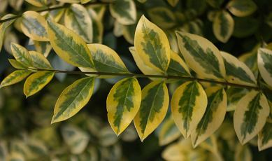 ligustrumovalifoliumaureum