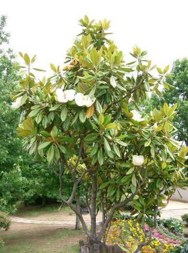magnolia_grandiflora10