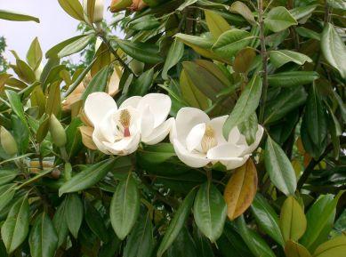 magnolia_grandiflora9