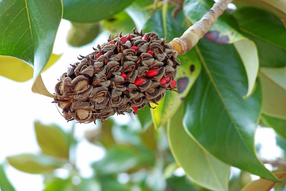 Immergrüne Magnolie, Magnolia grandiflora, Monaco, Monte Carlo