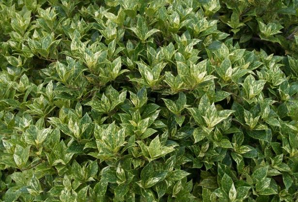 osmanthus_heterophyllus_goshiki