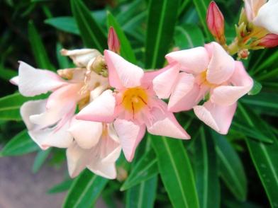petite-pink-oleander-2