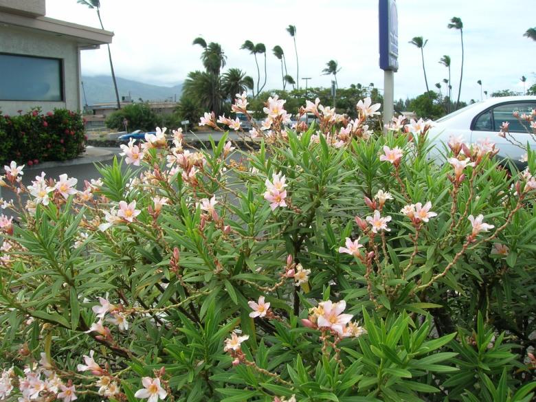 petite-pink-oleander