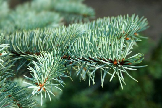 picea_pungens_-_glauca_in_hungary