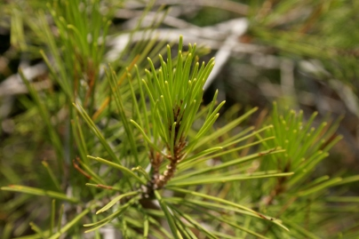 pinus-halepensis-shoot