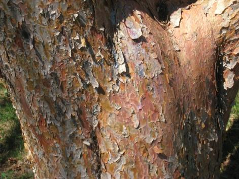 pinus_densiflora_mount_auburn_cemetery_-_2